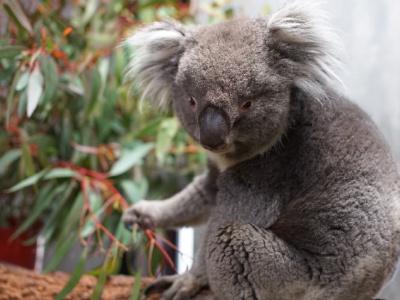 コアラは寝ている時間が長いので、起きている姿を見られるのは貴重。